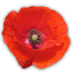 World War I Poppy
